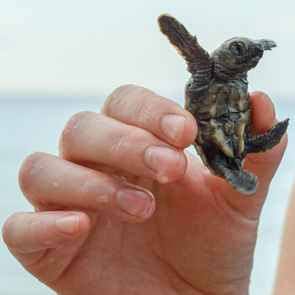 The embassy community frequently attends and supports the efforts of the Oracabessa Marine Trust. Veronica Elkins, a Foreign Service officer, holds a turtle before it is released into the ocean. Photo by Katherine Judd